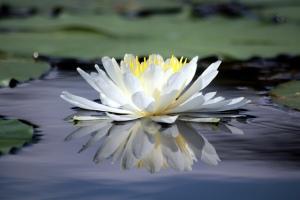 Flickr-Lotus-LadyDragonflyCC