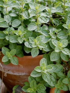 greek-oregano-pot-lo